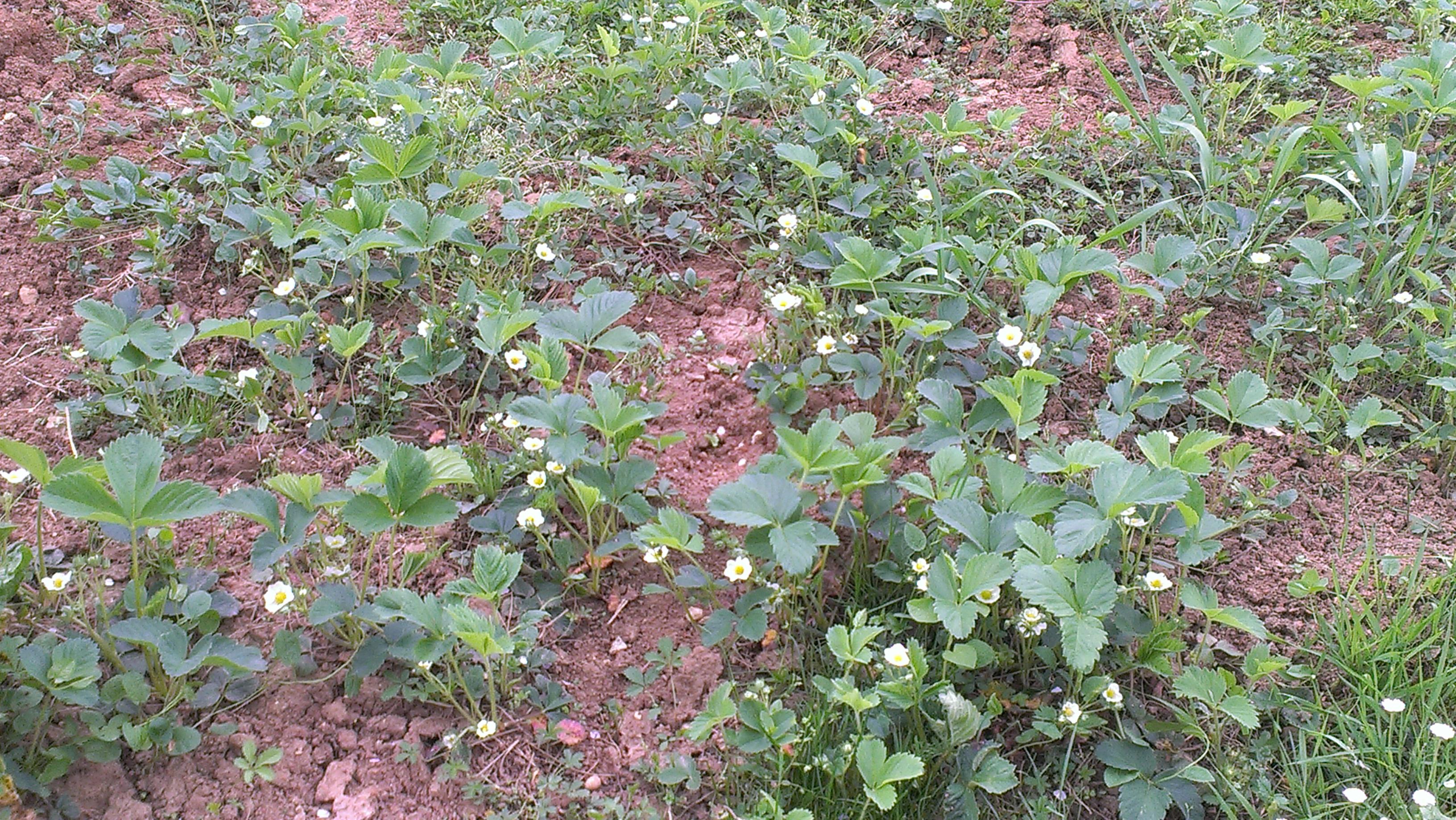 Jagode cvetijo